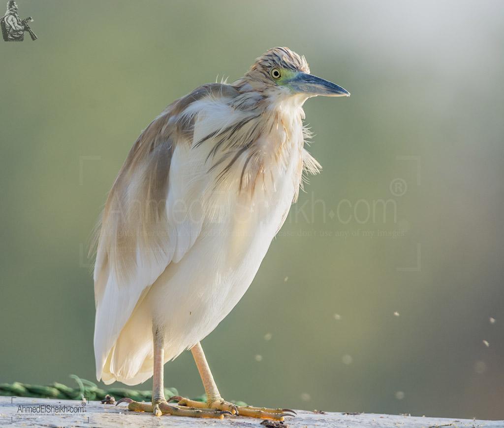 Squacco Heron - بلشون البحيرات الذهبي