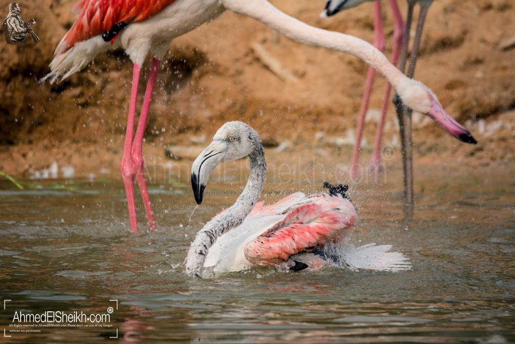 Lessar Flamingo - النحام الوردى