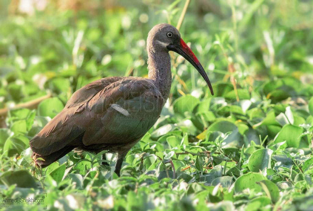 Hadada ibis -أبو منجل الحدادة