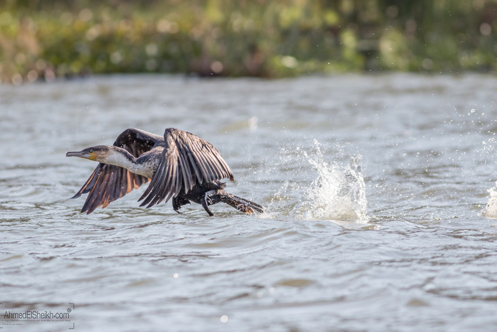 Cormorant - Naivasha
