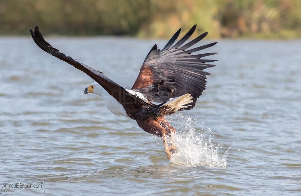 African Fish Eagle - Naivasha - عقاب السمك الأفريقي