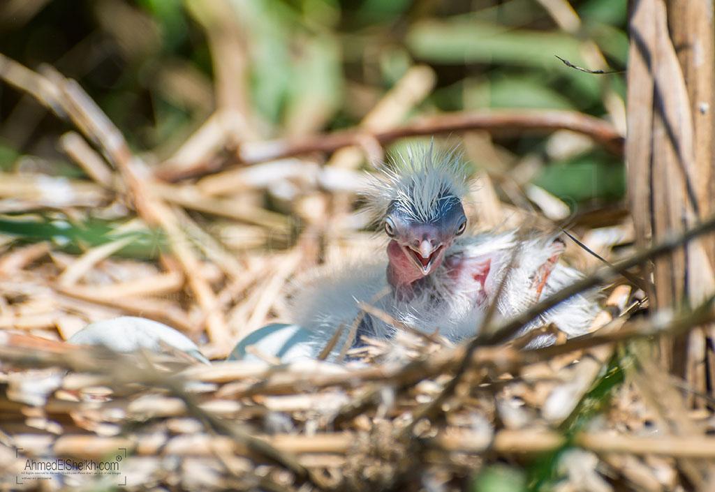 Little Egret Chick