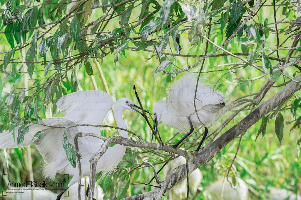 little-egret-couple-building-nest البلشون الابيض الصغير اثناء بناء عشه