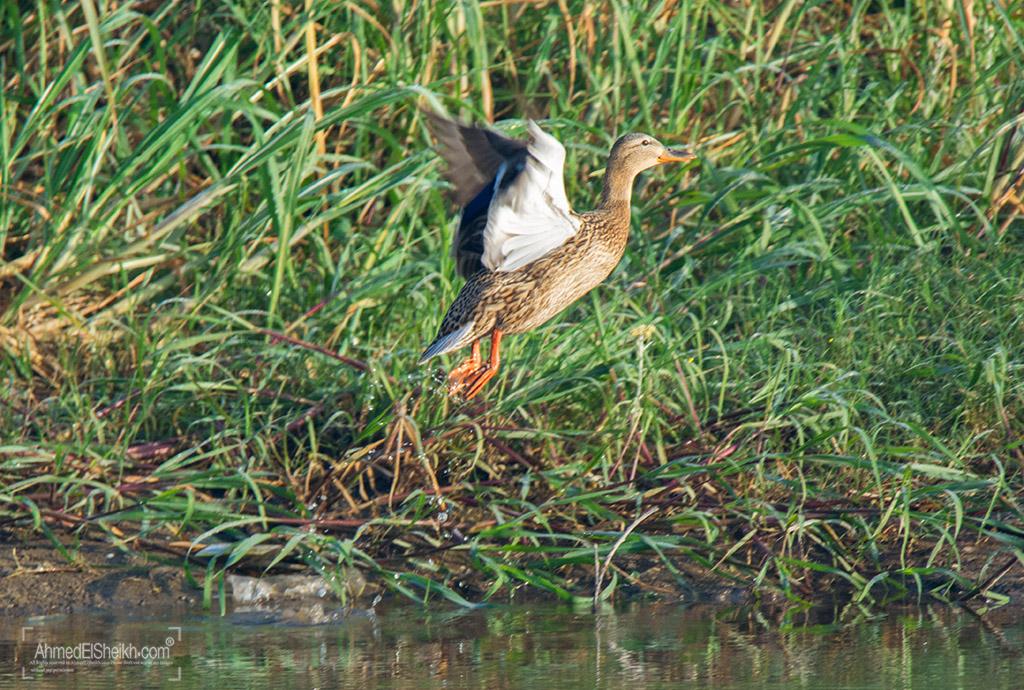 Mallard Duck Female بط الخضاري آنثي