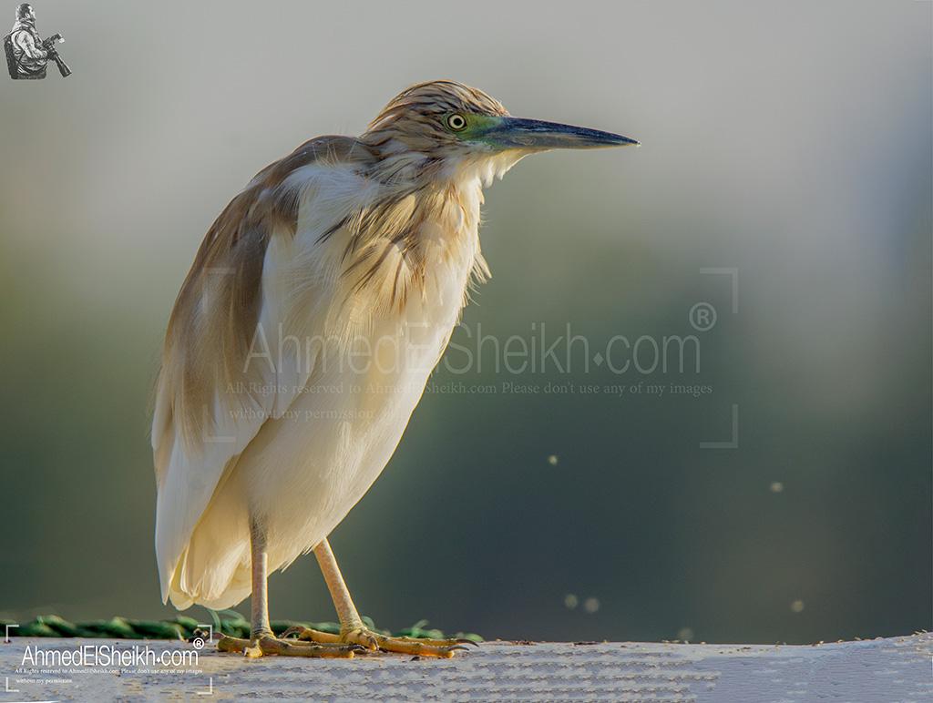Squacco Heron بلشون البحيرات الذهبي