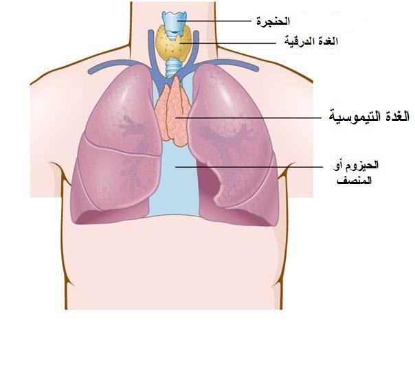 الغدة الزعترية | الغدة التيموسية | المسئول الأول لمرض وهن العضلات