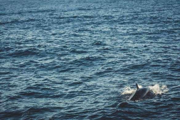 Kleiner Schwertwal vor Sao Miguel.