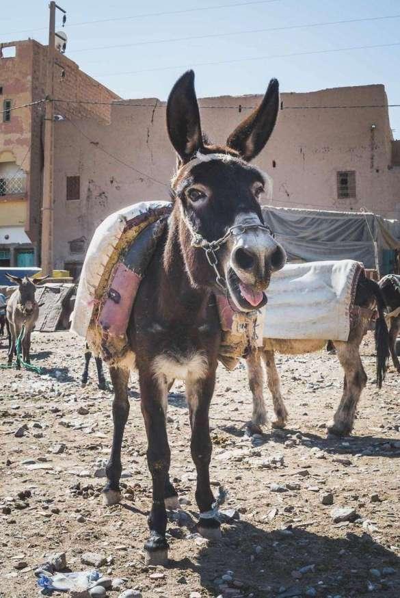 Esel auf dem Eselmarkt von Rissani
