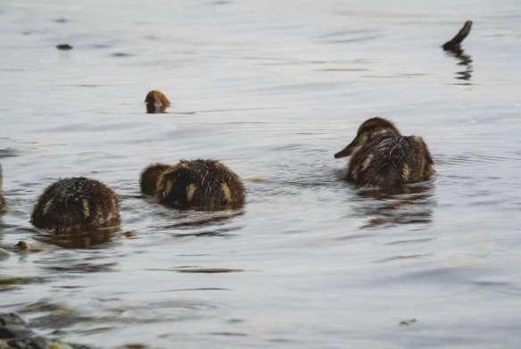 Entenküken am Cospudener See beim Baden nach langersehntem Regen