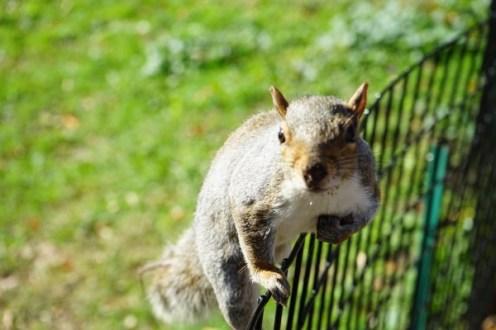 Eichhörnchen im Batterey Park