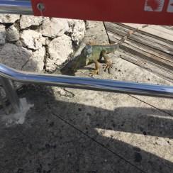Schildkrötenfarm - lächelnder Leguan