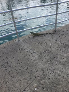 Schildkrötenfarm - Leguan