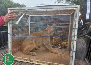 Puma atrapado en Villa Montes