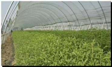 ALIMENTOS: La stevia conquista el mundo del dulce