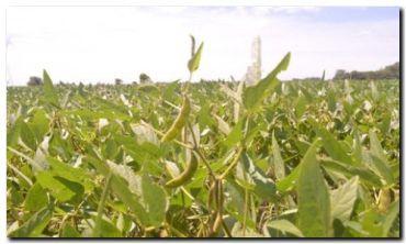 La siembra de soja alcanza al 94% de las hectáreas proyectadas