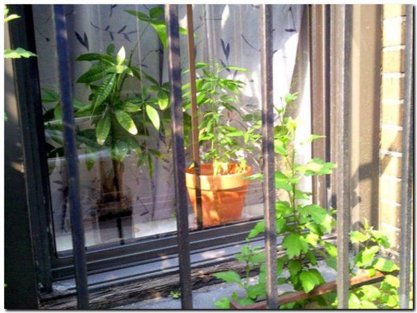 SALUD: El cannabis medicinal es ley. No permite el auto cultivo