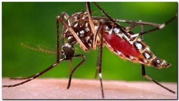 DENGUE: La cruza con una especie africana aumenta la agresividad del mosquito