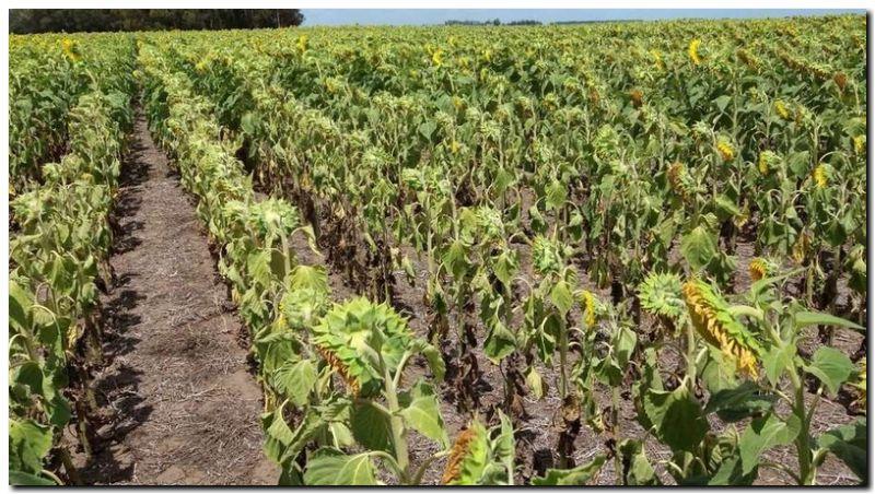 AGRO: La cosecha gruesa entró en zona crítica por la sequía