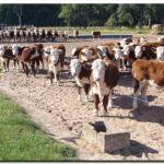 AGRO: Recría, clave para aumentar la producción de carne bovina