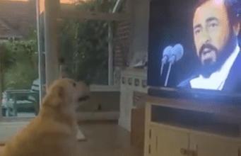 Perro fan de Pavarotti.