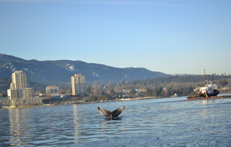Tail of a humpback whale in Nanaimo harbour on a sunny winter day.