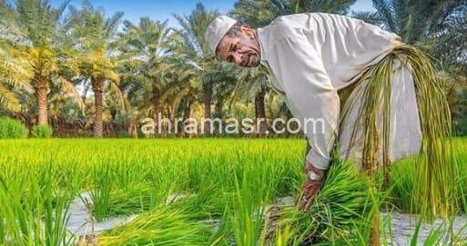 زراعة 724 الف فدان ارز في 9 محافظات خلال العام الجاري