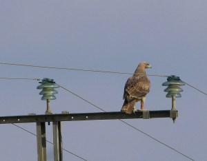 Águila perdicera en Los Carrizales (J. Ramos)