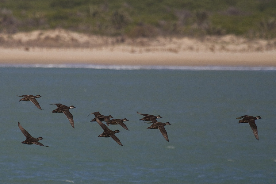 Bando de negrones frente a la Playa de los Tosales, área marina que ha quedado fuera de la ZEPA (S. Arroyo)