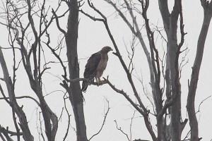 Águila perdicera en El Hondo (S. Arroyo)