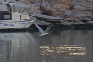 Pagaza piquirroja en la Gola del río Segura (S. Arroyo)