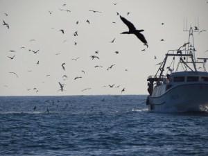 Pto. de la Vila, aves marinas acuden al descarte pesquero (J. Marco