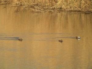 Malvasias en el pantano de Elche (O. Aldeguer)
