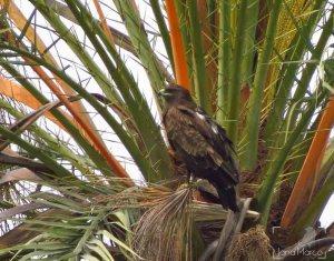 Águila moteada en Los Carrizales (J. Marco)