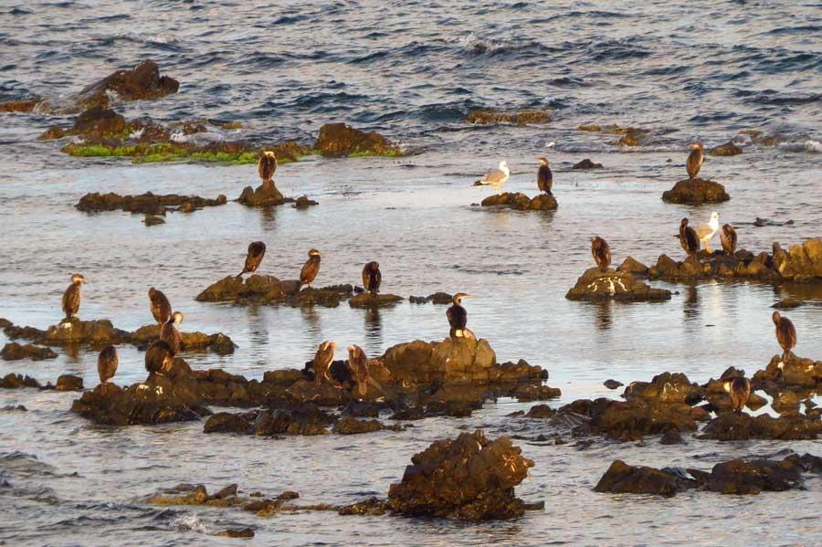 Grupo de cormoranes moñudos frente a punta Falcó , Tabarca (J. Marco)