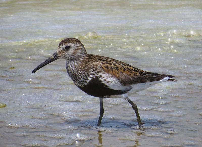 Correlimos común con plumaje nupcial en la desembocadura del Segura (J. Ramos)