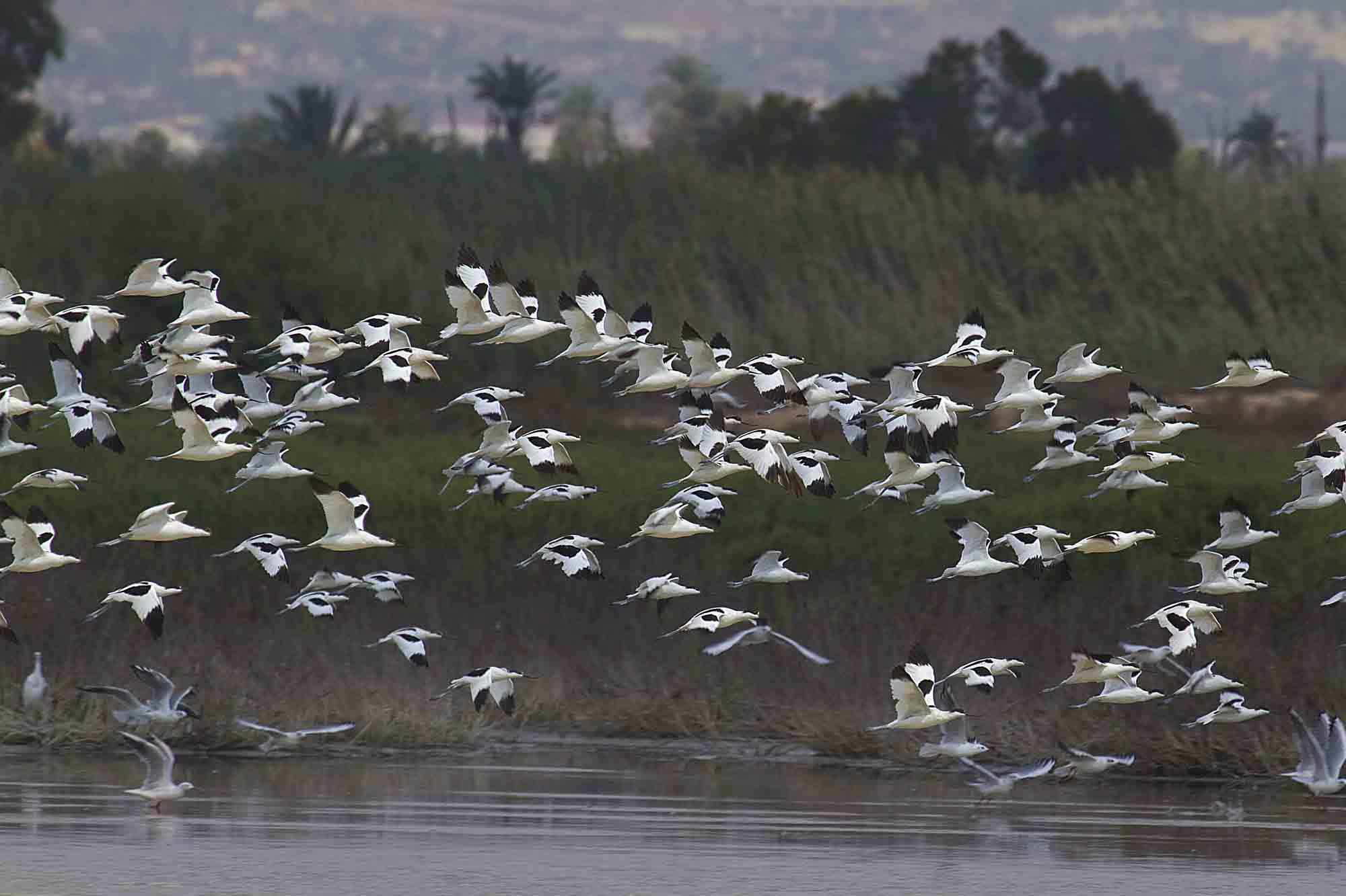 Bando de avocetas en la Reserva (S. Arroyo)