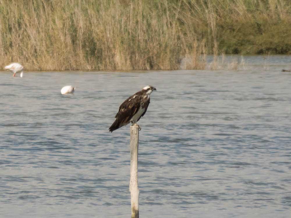 Águila pescadora en El Hondo (J. Boronat)
