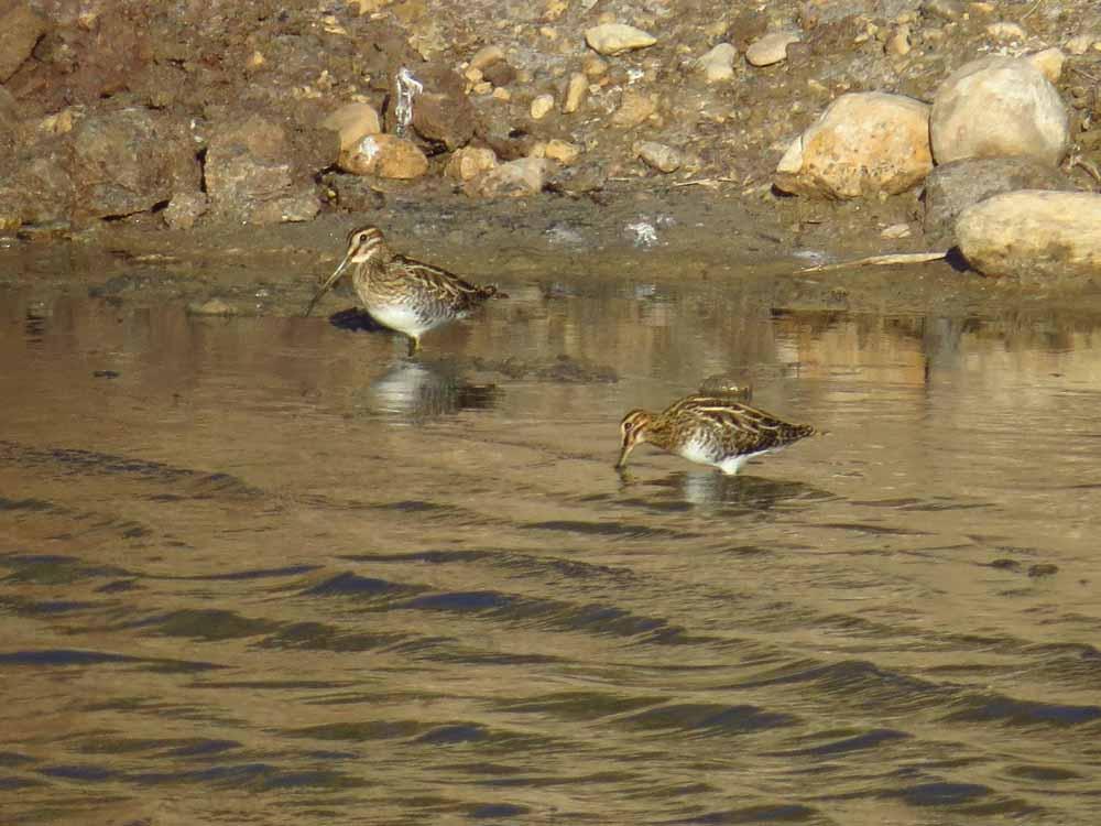 Agachadizas en el pantano de Elche (O. Aldeguer)