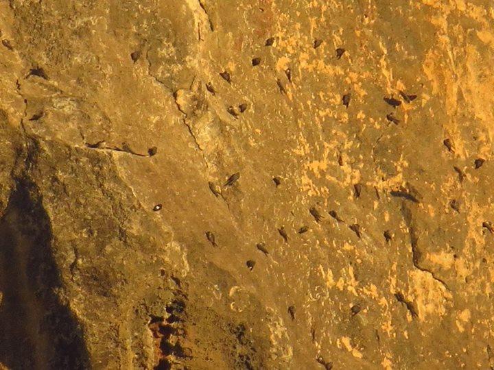Aviones roqueros en el pantano de Elche (O. Aldeguer)