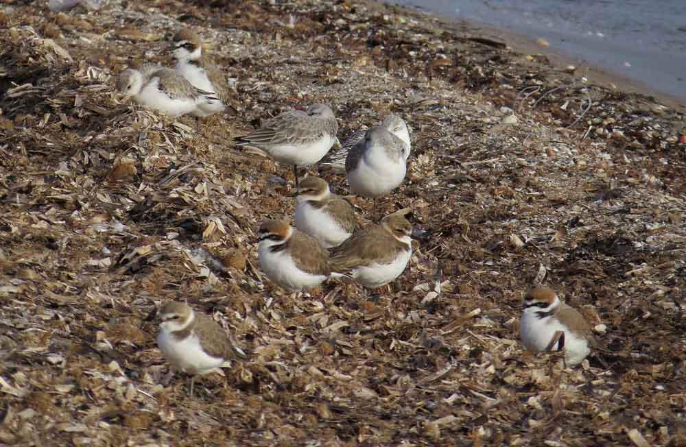 Chorlitejos patinegros con correlimos tridáctilos en la costa de Aguamarga (J. Ramos)