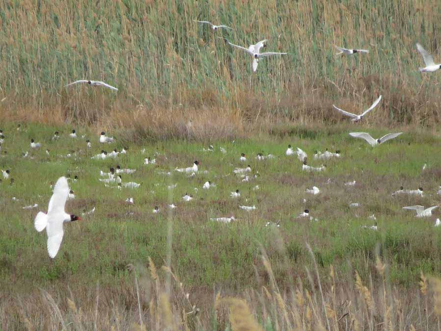 Colonia de gaviota cabecinegra en la orilla sureste de la laguna de Torrevieja (S. Arroyo)