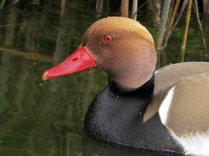 Pato colorado en el Clot de Galvany (J. Ramos)
