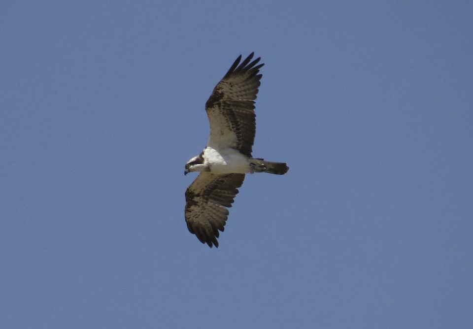 Águila pescadora junto al río Vinalopó (J. Ramos)