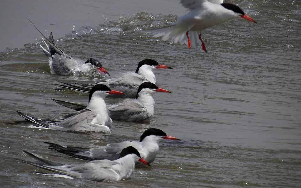 Charranes en la desembocadura del río Segura (J. Ramos)