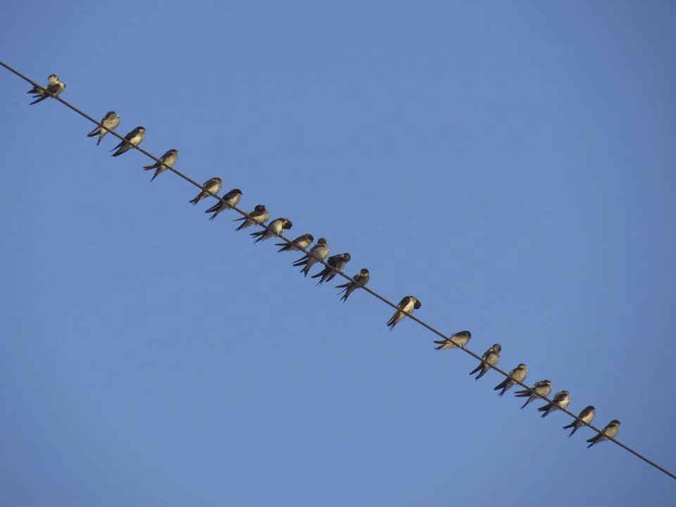 Aviones comunes en la EDAR de Algorós (O. Aldeguer)