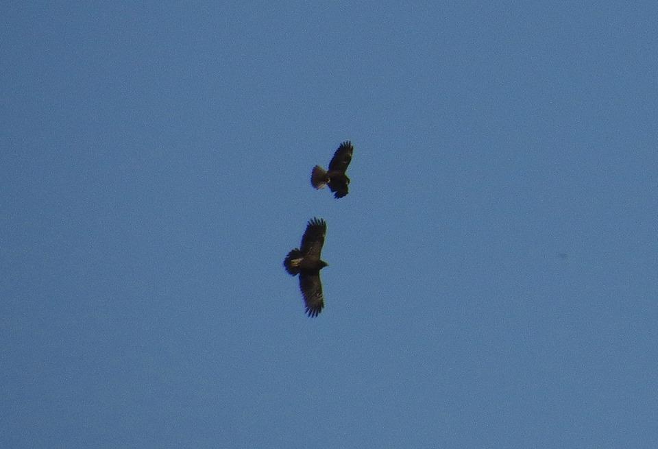 Águila moteada y lagunero en El Hondo (J. Ramos)