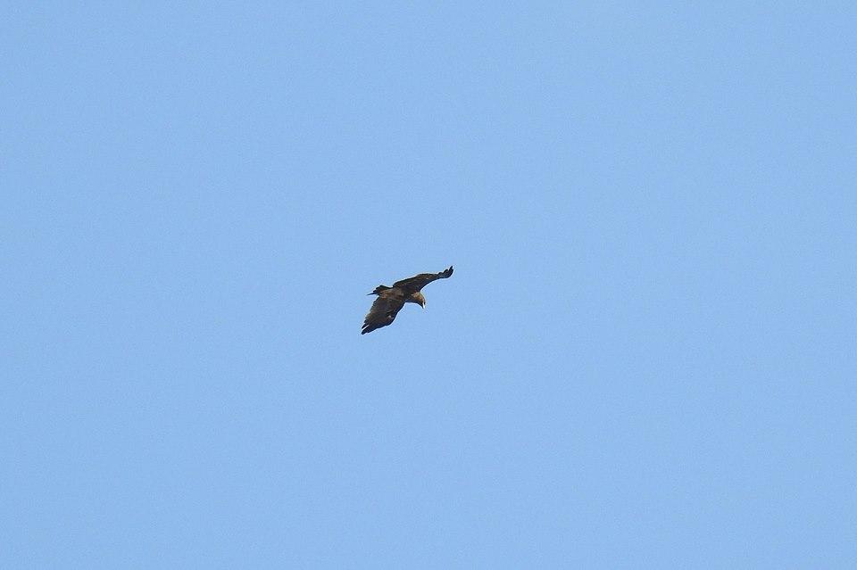 Águila moteada en El Hondo (I. Arnaldos)