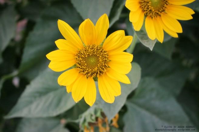 Sunflower B