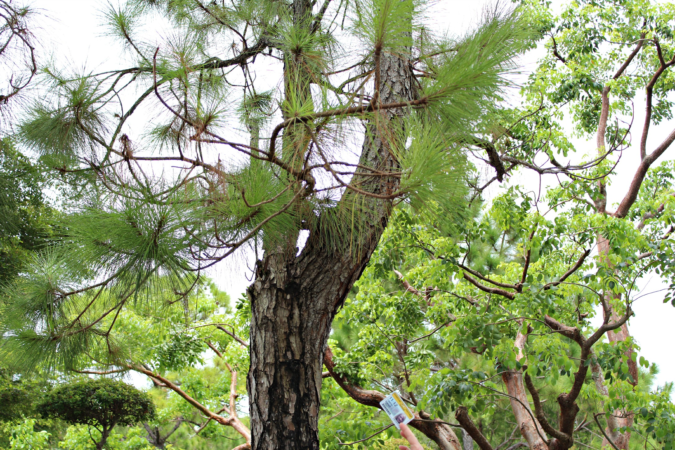 Gymnosperm Leaf