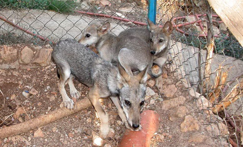 ثلاث ذئاب في مركز التعرّف على الحياة البرية في عاليه